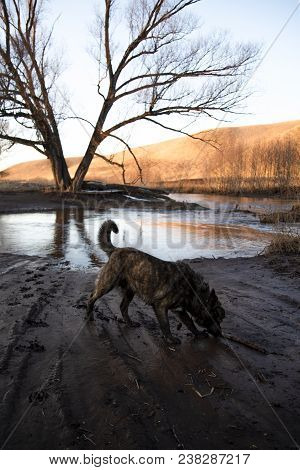 Brown Mongrel Walking In The Mud On The River Bank In The Spring Evening