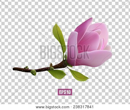 A Beautiful Magnolia Flower On A Transparent Background, A Delicate Pink Flower, Spring Flowers, A G