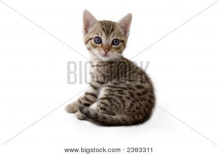 Striped Kitten (5 Weeks) Lying Down