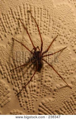 Tegenaria House Spider 01