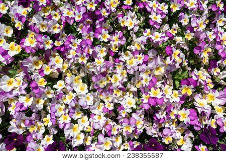 Numerous Horned Pansies In White, Purple And Yellow