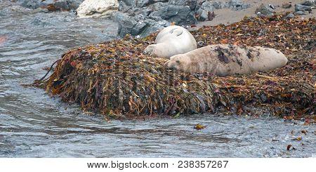 Elephant Seals Resting On Kelp Bed On Beach At Piedras Blancas On The California Central Coast - Uni