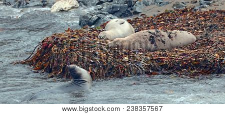 Elephant Seals Resting On Kelp Bed With Young One Nearby On Beach At Piedras Blancas On The Californ