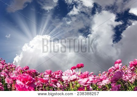 The sun shines through the clouds. Adorable pink garden buttercups - ranunculus bloom on a farm field. Windy day in May. Concept of ecological tourism