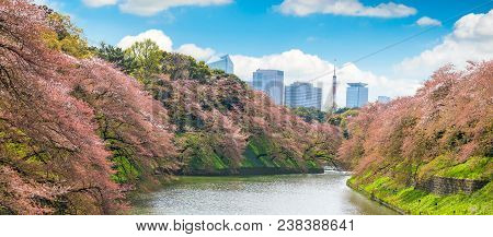 Sakura  Tree At Kitanomaru Garden. Japan Landscape. Cherry Blossoms In Tokyo With Tokyo Tower On Bac