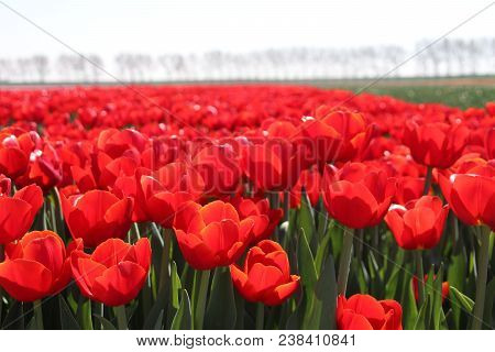 Row Of Red Tulips Type
