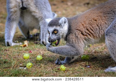 Hodenhagen, Germany - August 17, 2009: Ring Tailed Lemurs Eats Fruits In Serengeti Park, Zoo And Lei