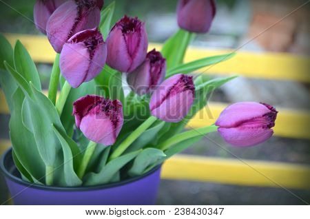 Purple Fringed Tulips Curly Sue On A Yellow Background