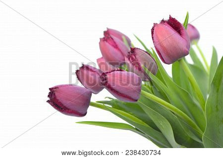 Purple Fringed Tulips Curly Sue On A White Background