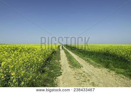 Lonely Road Landscape. Lonely Road In The Middle Of Yellow Flowers Field. Landscape With Road And Fl