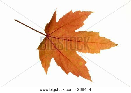 a fresh red maple (acer rubrum) leaf in autumn.  fall pigments: red, orange = anthocyanin; green = chlorophyll; yellow = carotenoid; brown spots = tanin. 12mp camera, isolated. poster