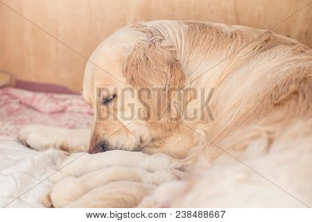 Group Of Cute Newborn Beige Golden Retriever Puppies Have Milk From Their Mom. Mommy Dog Takes Care