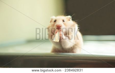 Cute Orange And White Syrian Or Golden Hamster (mesocricetus Auratus) Eating Pet Food. Taking Care,