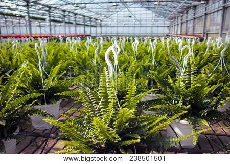Nephrolepis Green Lady, Houseplants Cultivated As Decorative Or Ornamental Flower, Growing In Greenh