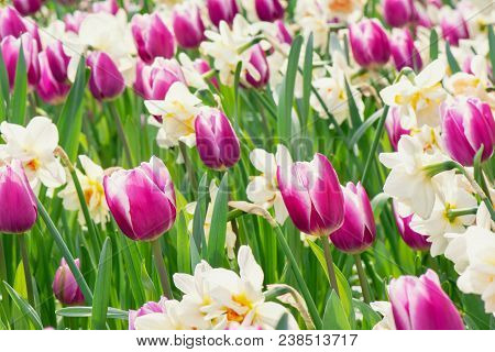 Springtime Flower. A Garden With Tulips And Daffodils.