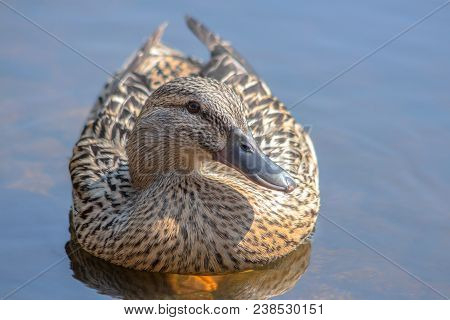 Female Duck In Blue Pond. (anas Platyrhynchos) In The Pond At