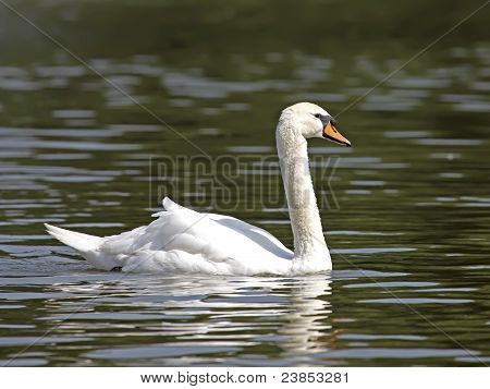 Beautiful White Swan