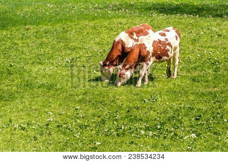 French Landscape - Vosges. Cows Eat Grass On A Meadow.