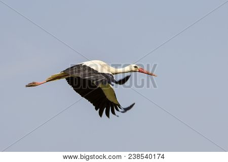 Elegant Beautiful White Stork Bird With Spread Wings, Black Tail And Long Legs Flying High In The Cl