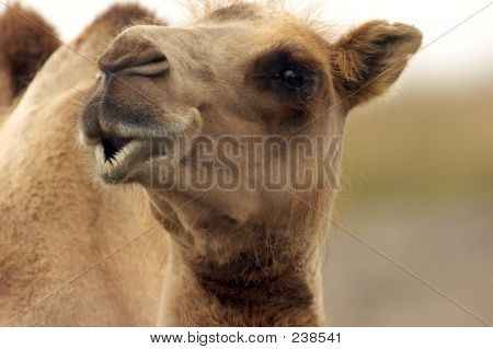 Camel Looking Eye To Eye With You