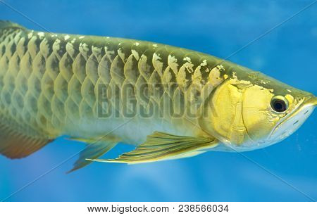Arowana In Aquarium, This Is A Favorite Fish With Long Body, Beautiful Dragon Shape Colorful For Dec