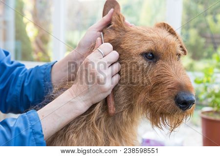 Trimming The Irish Terrier Dog Closeup.