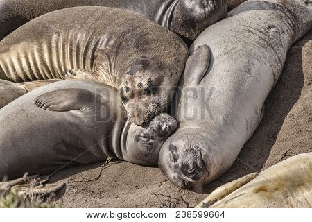 Elephant Seals Resting On The Beach At Piedras Blancs, California.