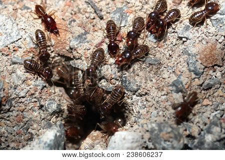 Hordes Of Termites Or White Ants Entering Into Soil For Be Transporting Food Back To The Nest Before