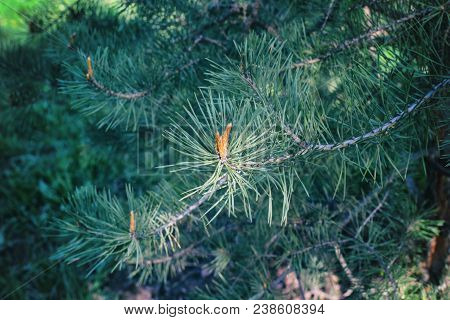 Sprig Of Pine In The Spring. Young Green Pine Branch. Spring Forest. Sprig Of Pine With A New Moment