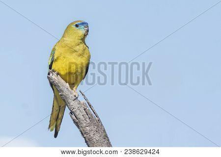 Cute Little Australian , Rock Parrot Sitting On A Branch