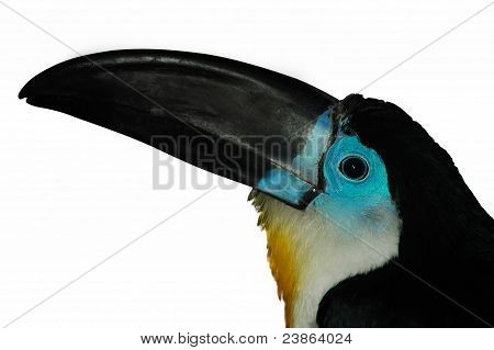 Channel-billed Toucan3