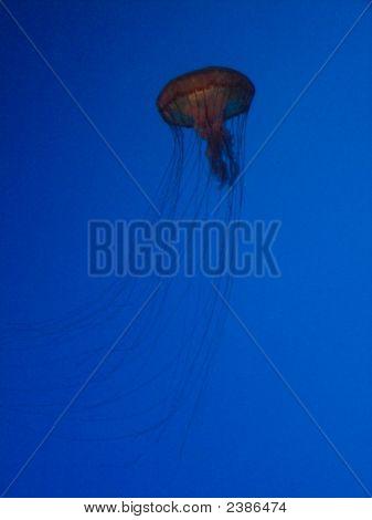 Illuminated Jellyfish