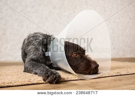 Dog With Protective Plastic Elizabethan (buster) Collar