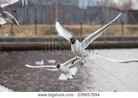 Screaming Black-headed Gull In Bird Colony. Lake Birds.