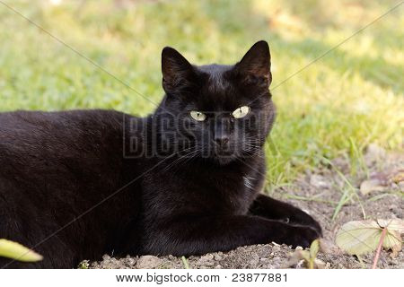 black cat on the meadow , close up - portrait
