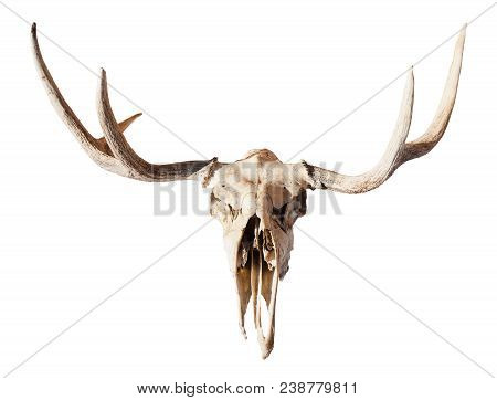 Front View Of Natural Skull Of Young Moose Animal Isolated On White Background From Smolensk Region