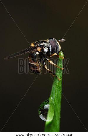 big eye fly