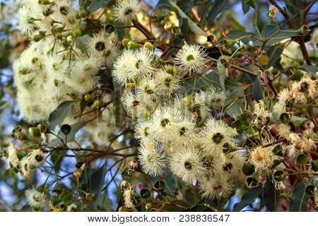 Marri flowers bloodwood tree, known as Red Gum, Port Gregory gum blossoming during summer in Western Australia (Eucalyptus calophylla)
