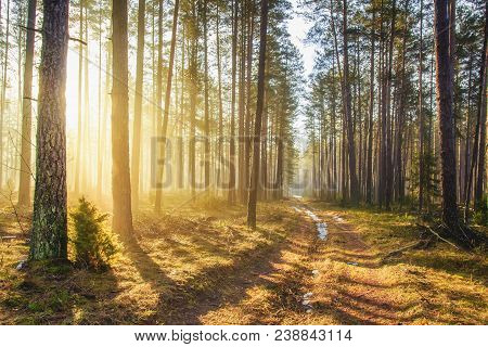 Bright Sunlight In Spring Forest. Morning Landscape Of Green Forest. Picturesque Forest Road. Woodla