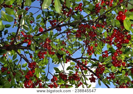 The Branch Of The Cherry Tree Abounds In Ripe Fruit.