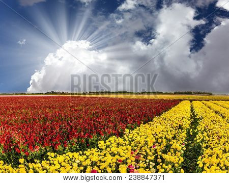 Red and yellow flowers buttercups bloom in the kibbutz field. The soft sun is breaking through the cumulus clouds. Concept of active and ecological tourism poster