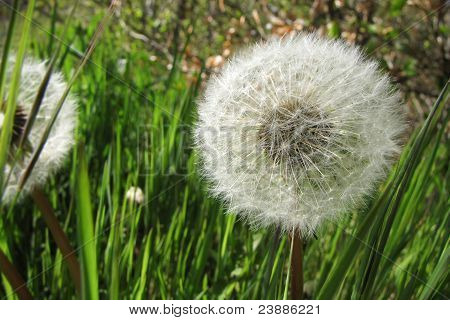 Dandelion (close-up)