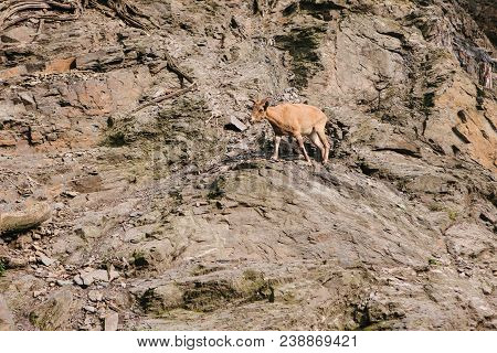 A Young Caucasian Mountain Goat In A Natural Habitat Overcomes The Mountains. Survival Of The Animal