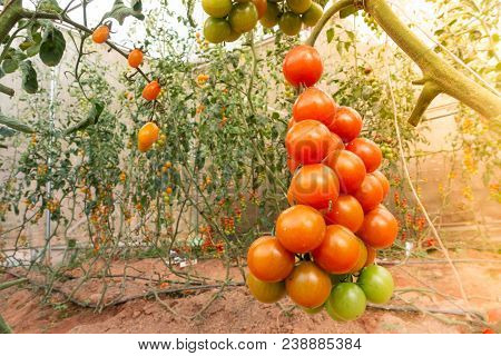 Ripe Tomato On Tree. High Quality Free Stock Photo Of Red Tomato And Green Tomato On Tree