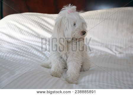 A beautiful white dog relaxes on a white king size bed with white stripped bed coverings.