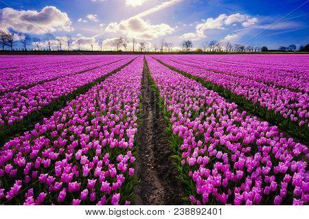 Purple Tulip Flower Field Under Blue Sky At Daytime