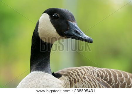 Close-up Of A Beautiful Canada Goose From The Side. View To The Head Of A Canada Goose (branta Canad