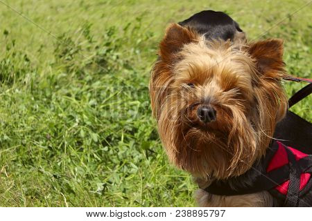 Animals,pets,dogs Concept.dog Outdoors,cropped Shot.yorkshire Terrier Over Green Grass Background.do