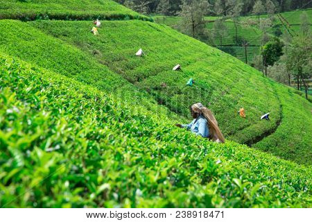 Nuwara Eliya,SRI LANKA - Mach 13 : Female tea picker in tea plantation in Mackwoods, Mach 13, 2017.tea industry.