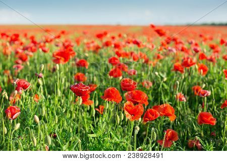 Poppy Farming, Nature, Agriculture, Nature, Spring, Blooming Flowers Concept - Industrial Farming Of